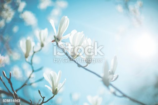 Blossom tree flowers. Shallow DOF - focus on the centre