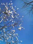 Springtime, Flower, Nature, Backgrounds, Magnolia
