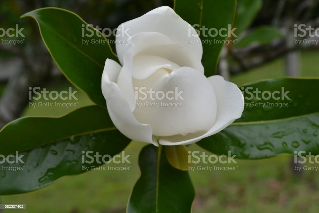 magnolia blossom royalty free stockfoto