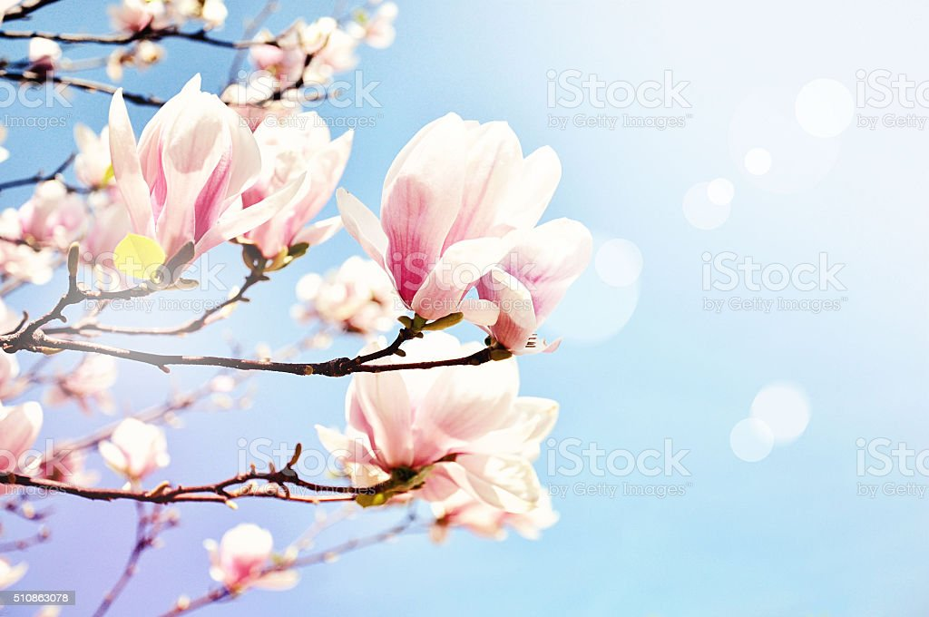 Magnolia blossom with a sun flare. Spring. Toned image stock photo