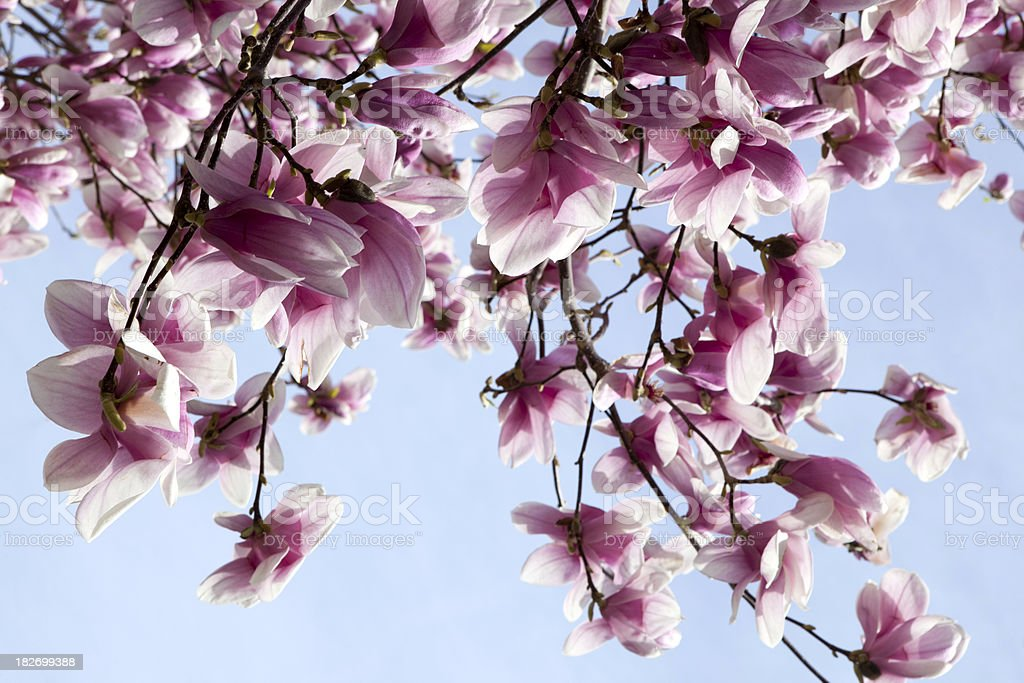 Magnolia blossoms in spring royalty-free stock photo