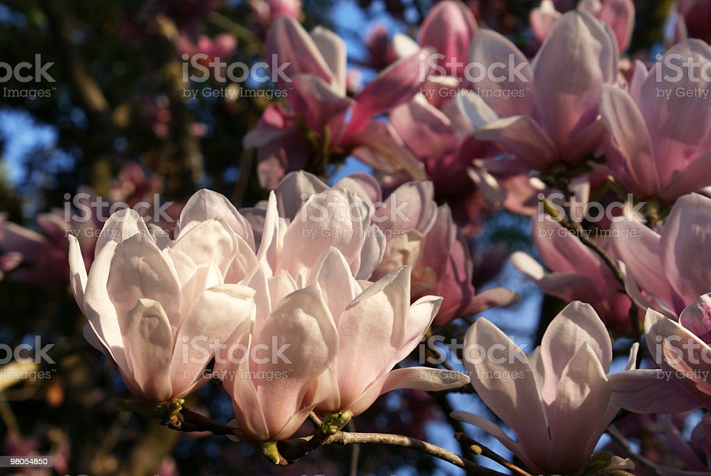 magnolia blossoms in sunlight royalty-free stock photo
