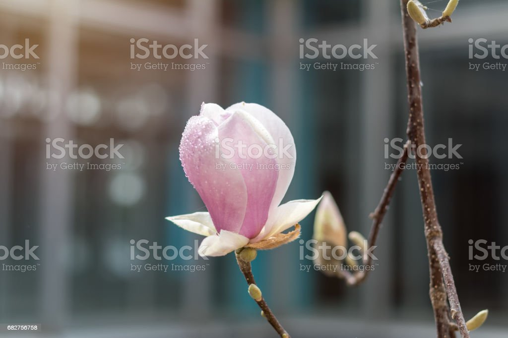 Magnolia blossoms on a tree royalty-free stock photo
