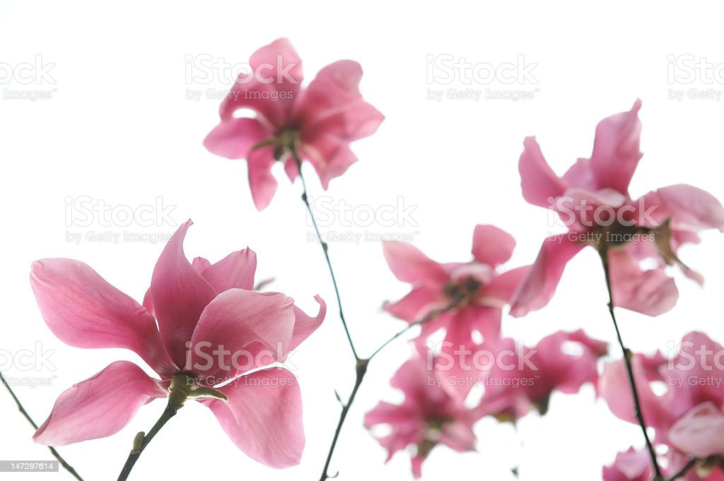Magnolia Blossoms royalty-free stock photo