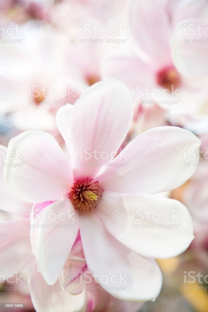magnolia blossoms stock photo