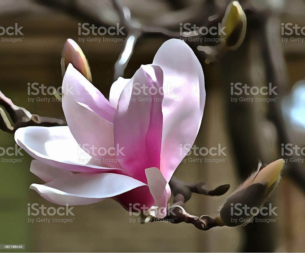 Magnolia Blossum #1 stock photo