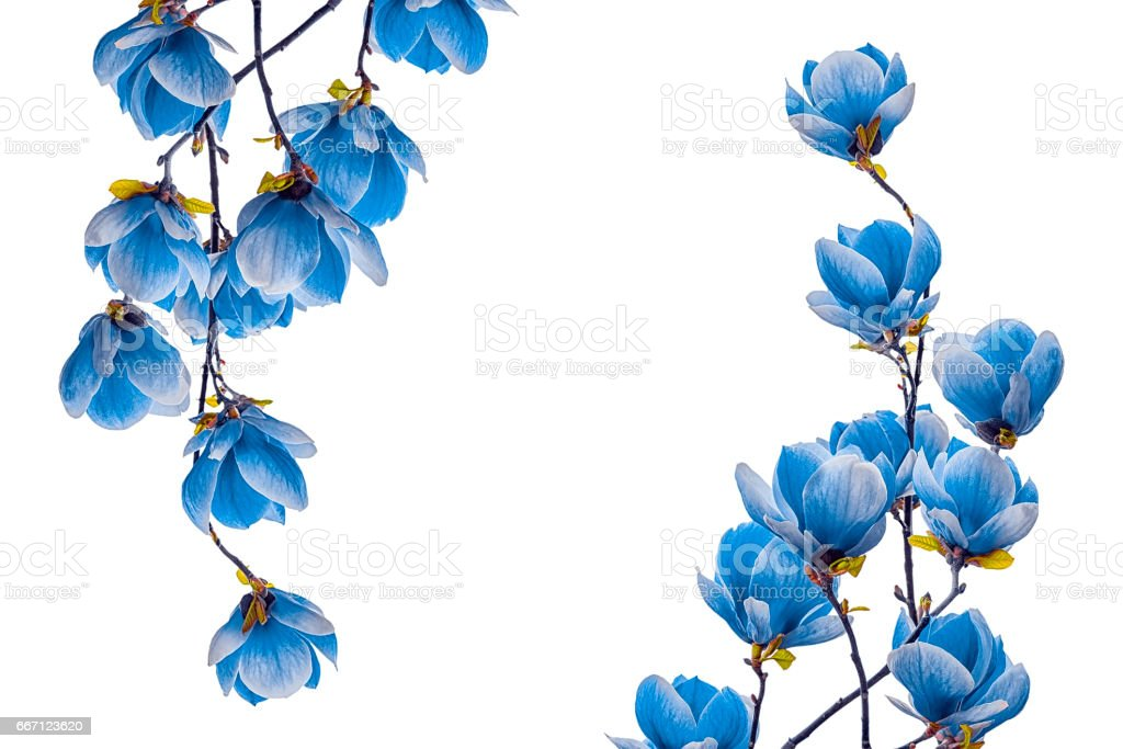 Magnolia blue  flower blossom isolated on white background – Foto
