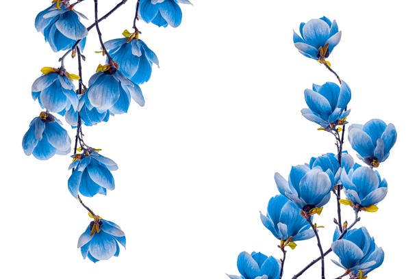 Royalty free blue flowers white background pictures images and magnolia blue flower blossom isolated on white background stock photo mightylinksfo