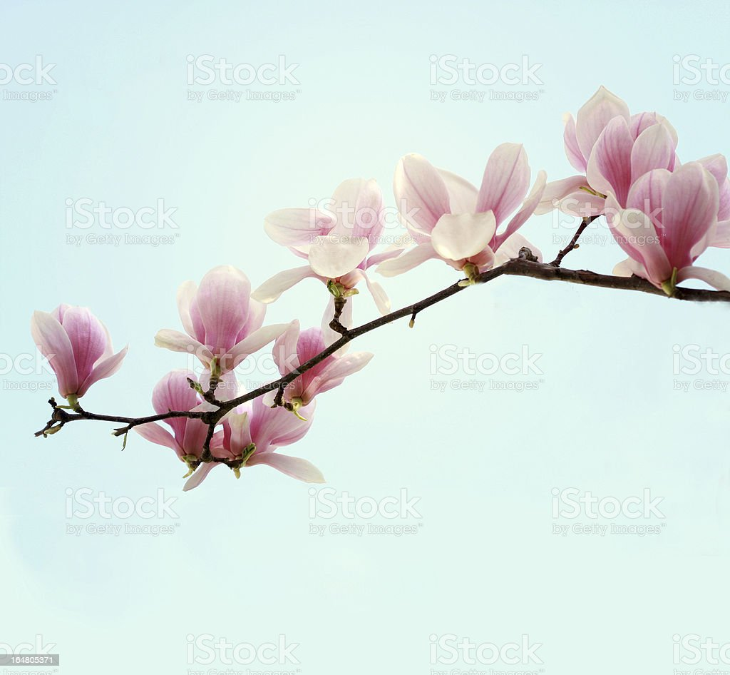 magnolia branch stock photo