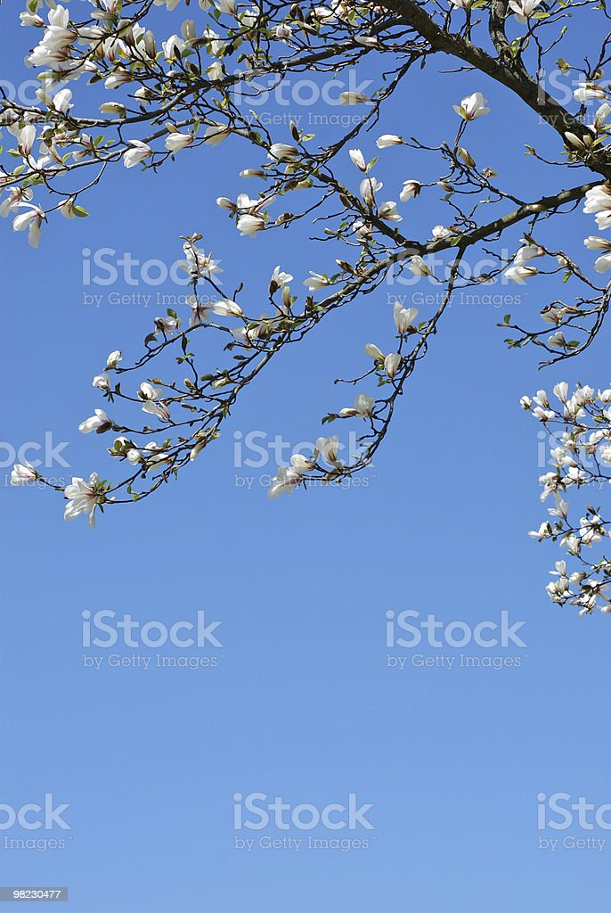 magnolia branch royalty-free stock photo