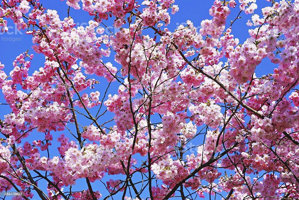 Magnolia Branch Spring stock photo