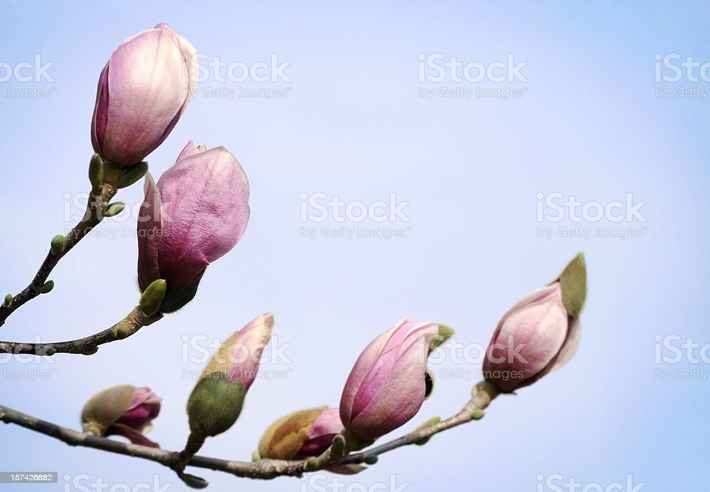 Magnolia buds, Shallow DOF stock photo
