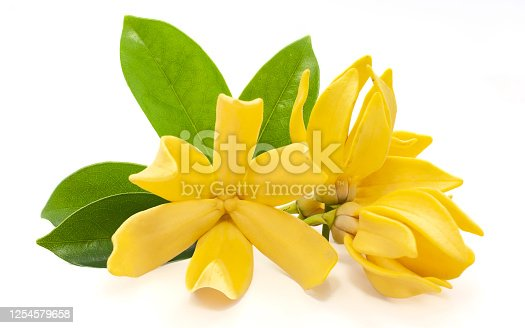 istock Magnolia champaca flower isolated on white background 1254579658
