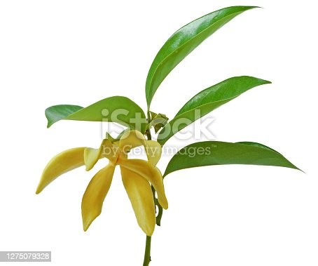 istock Magnolia champaca flower isolated on white background 1275079328
