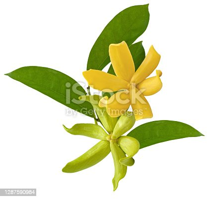 istock Magnolia champaca flower isolated on white background 1287590984