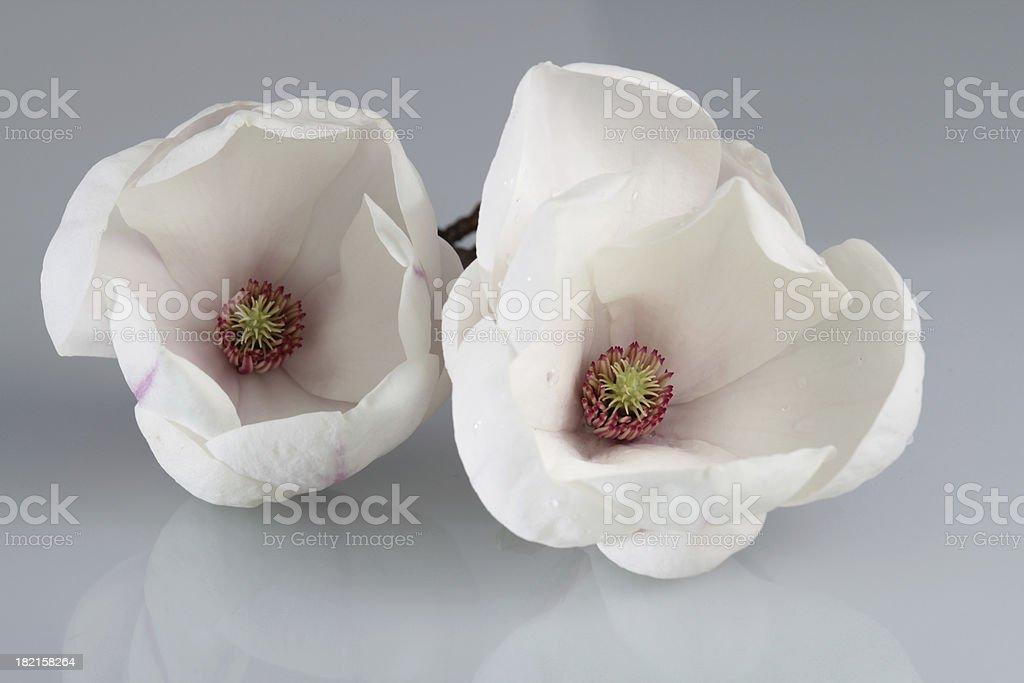 Magnolia couple stock photo
