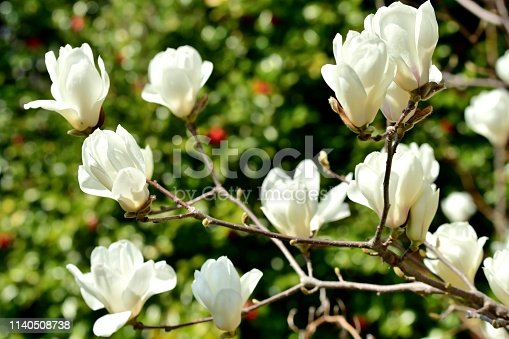 Magnolia denudata, which is also called Magnolia heptapeta and Yulan magnolia, is a deciduous tree which grows to 10-13 meters tall. Fragrant goblet-shaped flowers bloom in spring (March) before the leaves emerge. Flowers give way to cone-like fruits that mature to red in late summer.