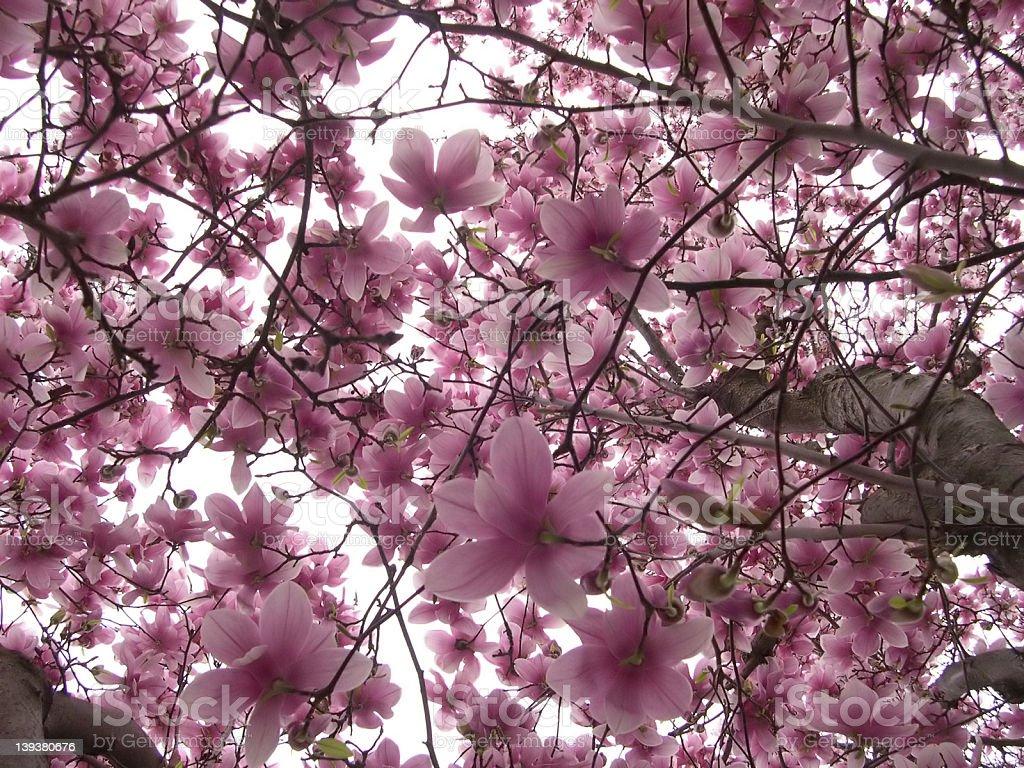 magnolia explosion royalty-free stock photo