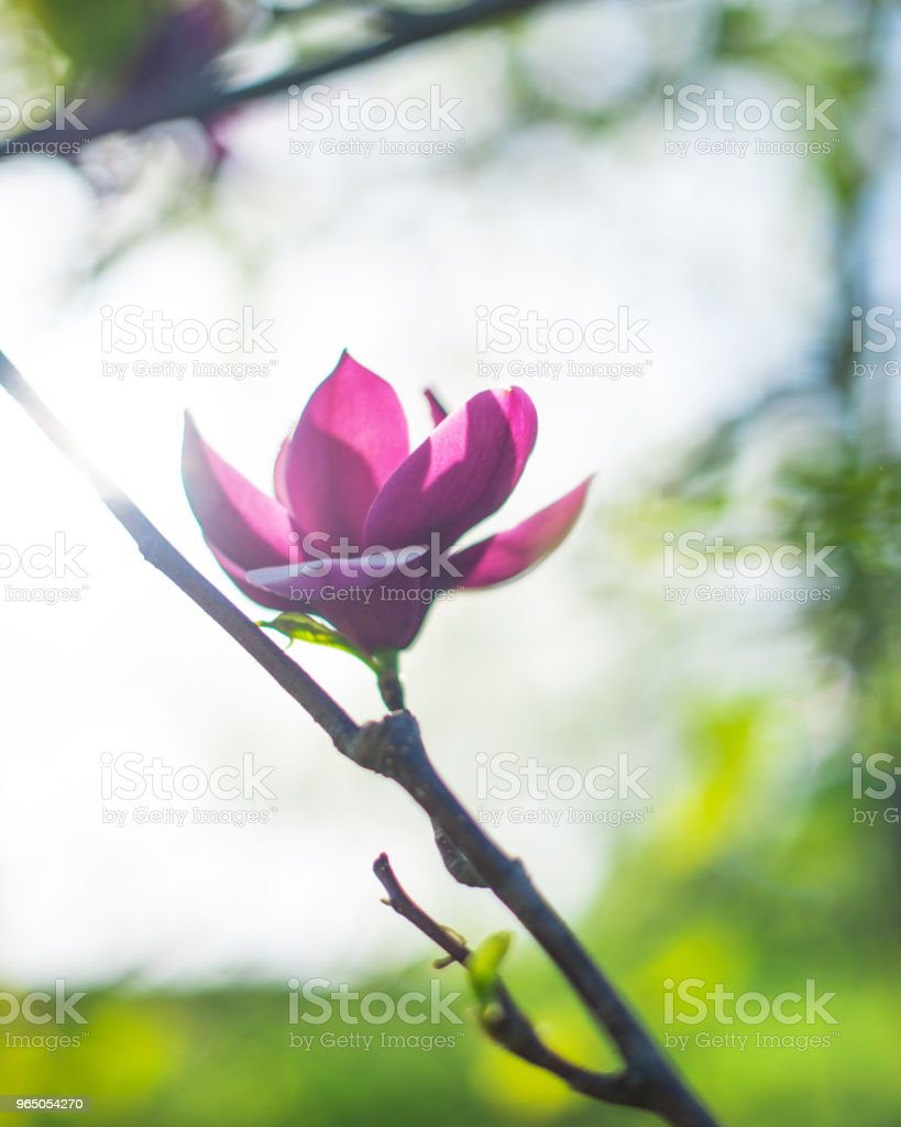 Magnolia flower beautiful spring background with soft focus royalty-free stock photo