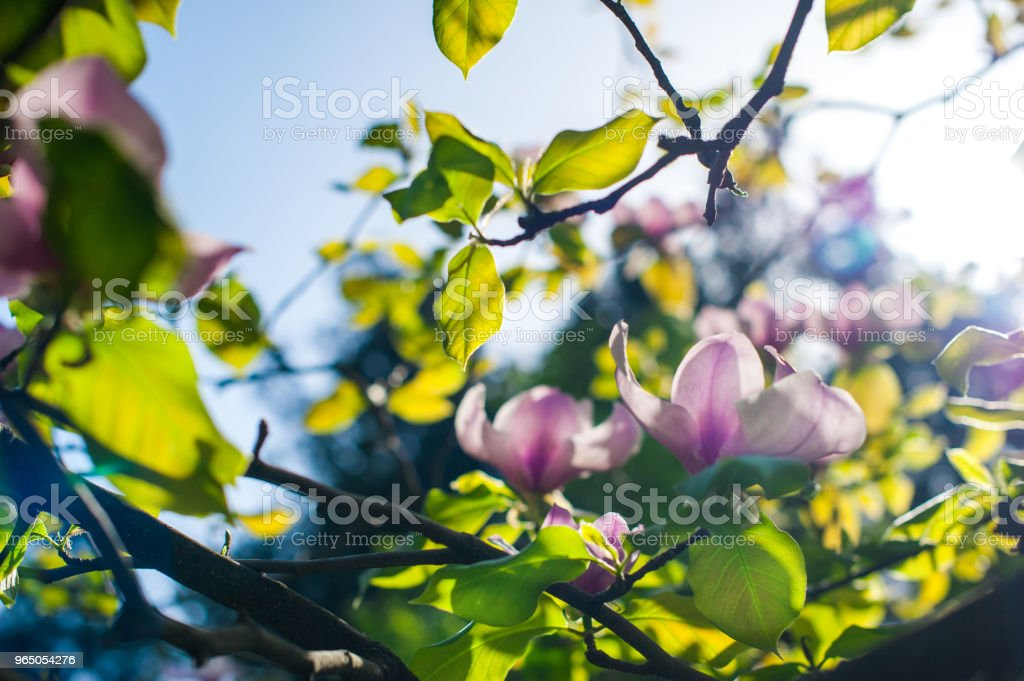 Magnolia flower beautiful spring background with soft focus zbiór zdjęć royalty-free