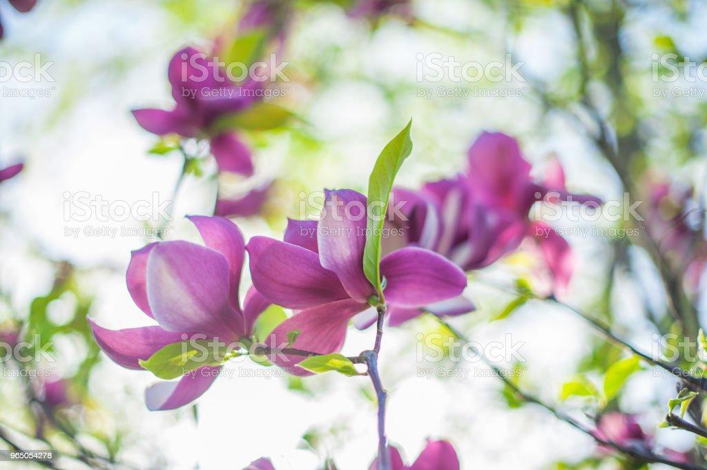 Magnolia flower beautiful summer background zbiór zdjęć royalty-free