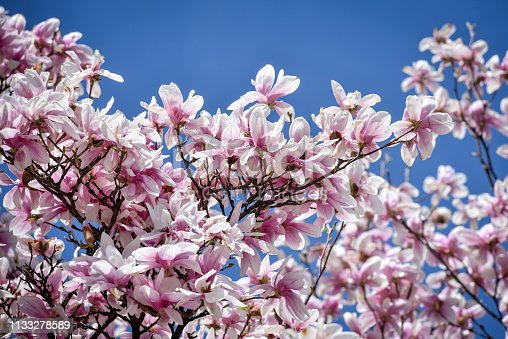 Early spring season. Magnolia flower tree blossom. Close up shot during a bright sunny day. No people