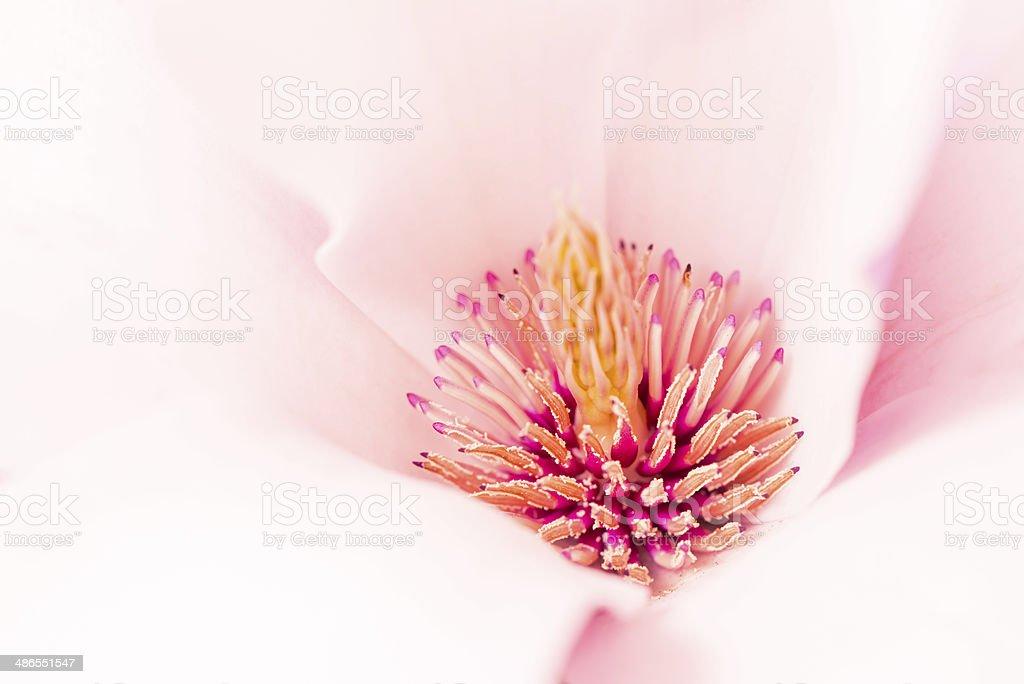 Magnolia flower blossom macro view inside zoom stock photo