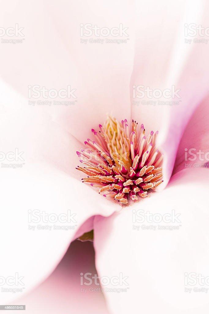 Magnolia flower blossom macro view zoom stock photo