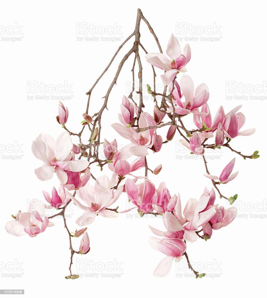 Magnolia, flower branch on white stock photo