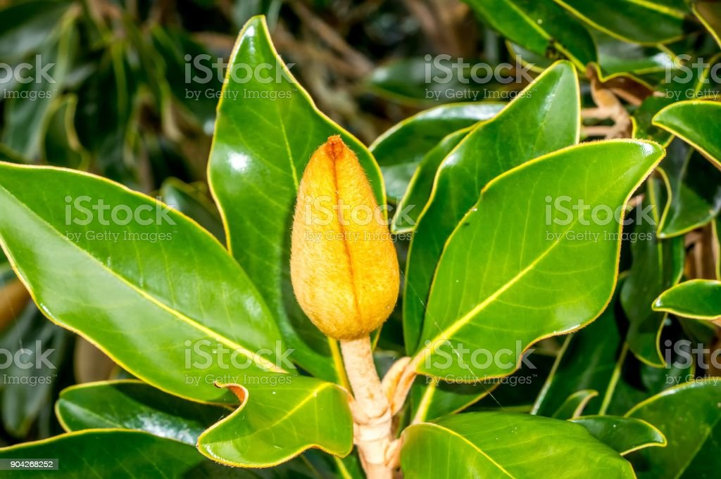 magnolia flower bud stock photo