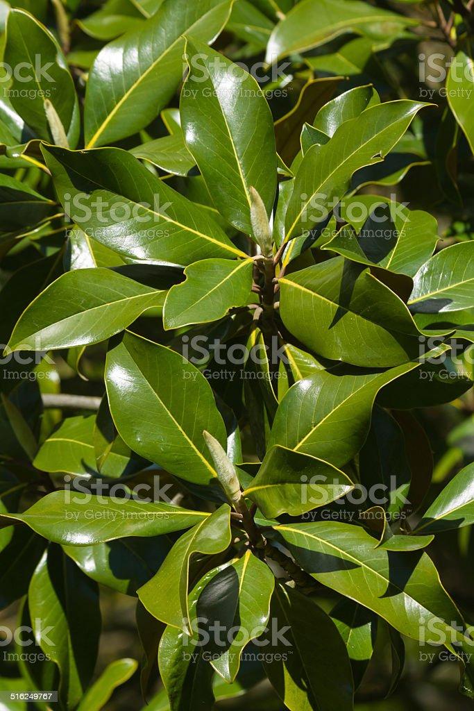 Magnolia Flower Buds - Brotes de Flores de Magnolia stock photo