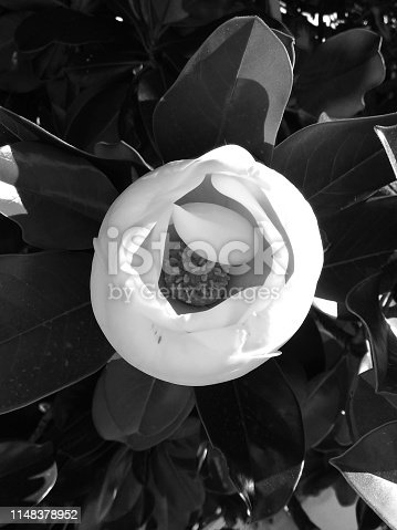 istock Magnolia flower in bud (b-n) 1148378952