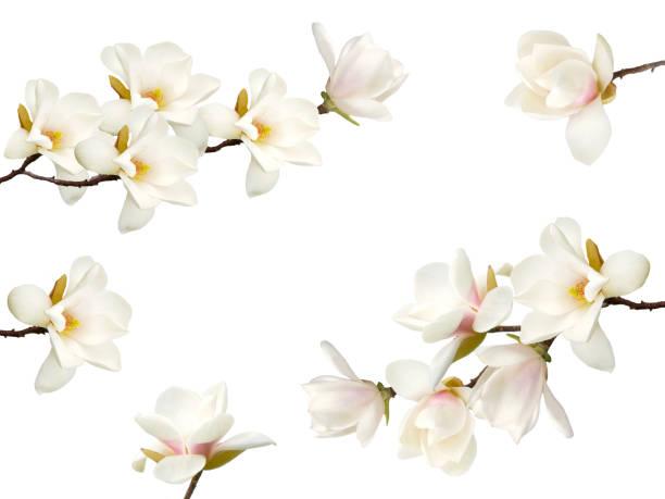 Magnolia flower isolated on white background picture id1138854556?b=1&k=6&m=1138854556&s=612x612&w=0&h=hgaazmizgvlf4ishe qb1ft unzvhadilipwcm0yjxc=
