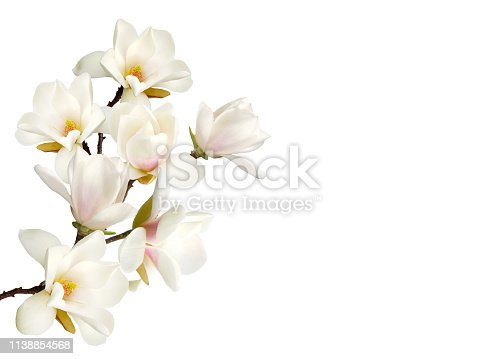 istock Magnolia flower isolated on white background. 1138854568