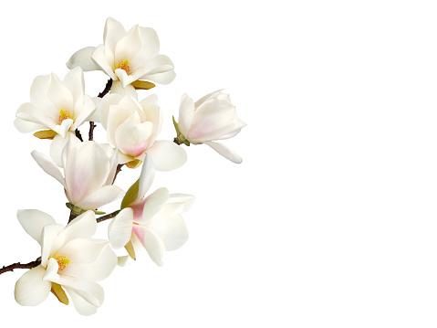 Magnolia flower isolated on white background.