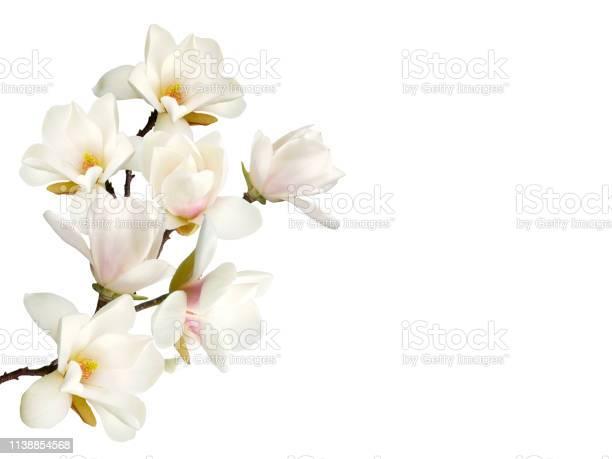 Magnolia flower isolated on white background picture id1138854568?b=1&k=6&m=1138854568&s=612x612&h=t6rfkm2u1yuz 8fun2onm5j9nlhfenhm2hzgcppn5bk=