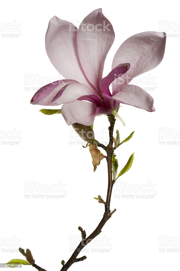 Magnolia flower on white background stock photo