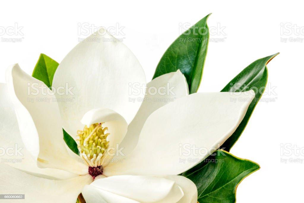 Magnolia Flower over White Background stock photo