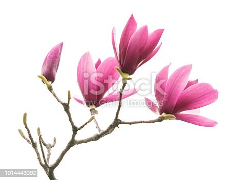 magnolia flowers isolated on white background
