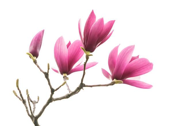 magnolia flower - magnolia стоковые фото и изображения