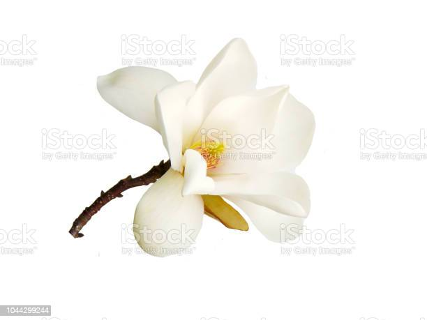 Magnolia flower picture id1044299244?b=1&k=6&m=1044299244&s=612x612&h= 7neemjhiyq5lzjtdwlfs6lybtc975ro92qc82zebcs=