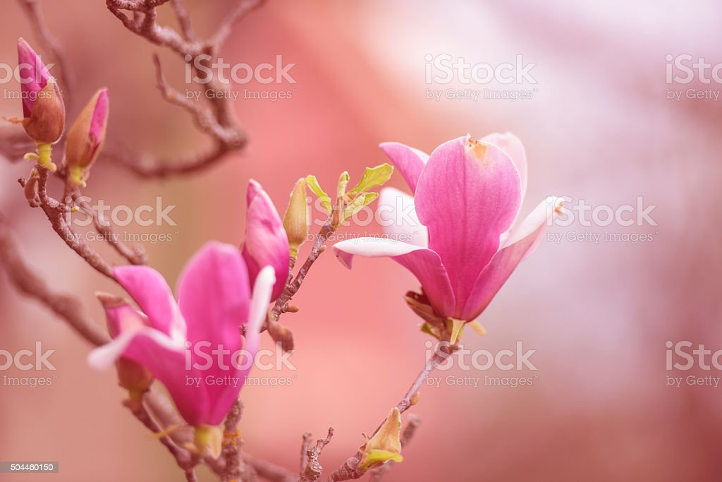 Magnolia flower stock photo