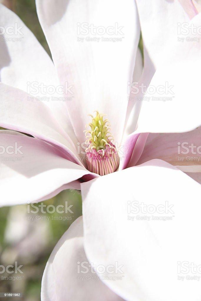 Magnolia Flower royalty-free stock photo