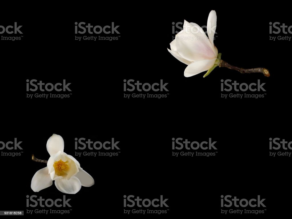 Magnolia Flower Stock Photo More Pictures Of Black Color Istock