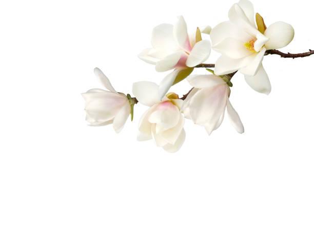 Magnolia flower picture id931816314?b=1&k=6&m=931816314&s=612x612&w=0&h=rjlav17vnvjgxbm2kiyasyyozvjaz dwajxirljbtq0=