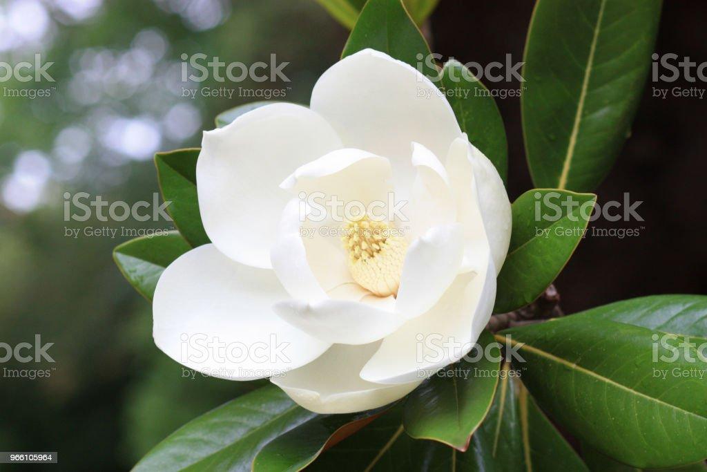 Magnolia blomma - Royaltyfri Blomkorg - Blomdel Bildbanksbilder