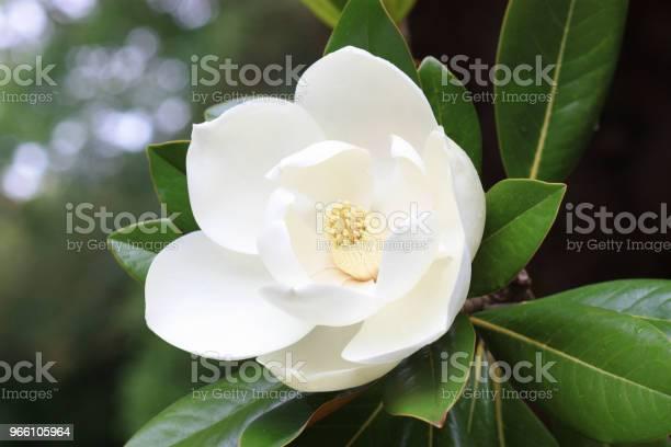 Magnolia Blomma-foton och fler bilder på Blomkorg - Blomdel