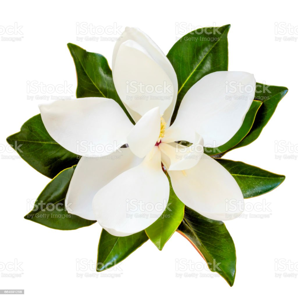 Magnolia Flower Top View Isolated on White stock photo