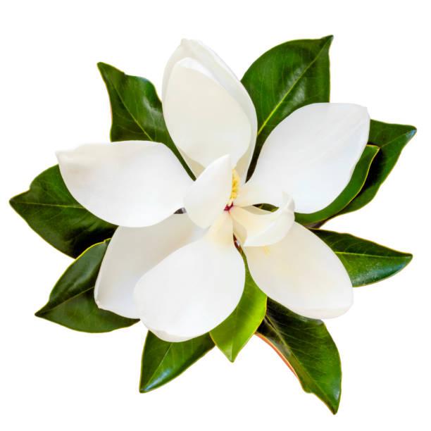 magnolia flower top view isolated on white - magnolia стоковые фото и изображения