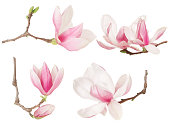 Magnolia flower twig spring collection